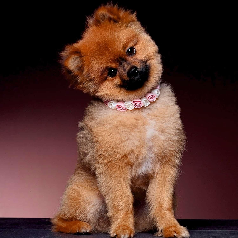 Ringaanhangers Ringkussentje voor honden POISAM03-40LRvierk